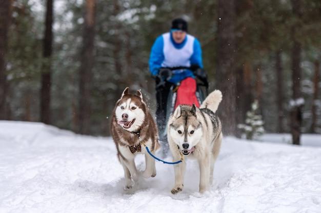 Corridas de cães de trenó. a equipe de cães de trenó ronca puxa um trenó com um trenó de cachorro. competição de inverno. Foto Premium