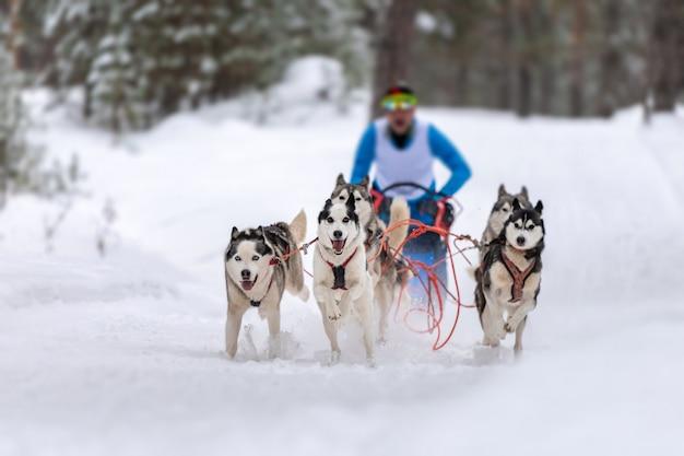 Corridas de cães de trenó. a equipe de cães de trenó ronca puxa um trenó com uma trena de cachorro. competição de inverno. Foto Premium