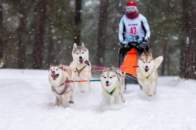 Corridas de cães de trenó. equipe de cães de trenó ronca puxar um trenó com motorista de cão. competição de inverno. Foto Premium