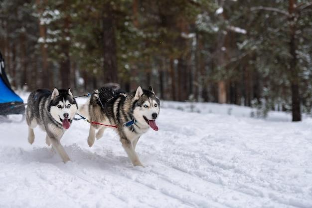 Corridas de cães de trenó. husky cães de trenó equipe no chicote de fios correr e puxar o motorista do cão competição de campeonato de esporte de inverno. Foto Premium