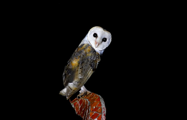 Coruja-das-torres tyto alba belas aves da tailândia Foto Premium