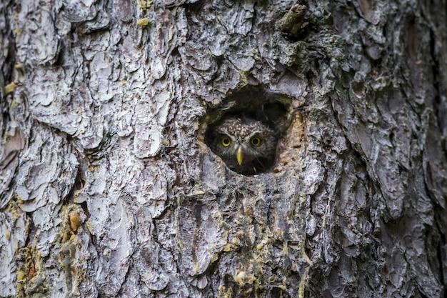 Coruja marrom e branca dentro de um buraco de árvore Foto gratuita