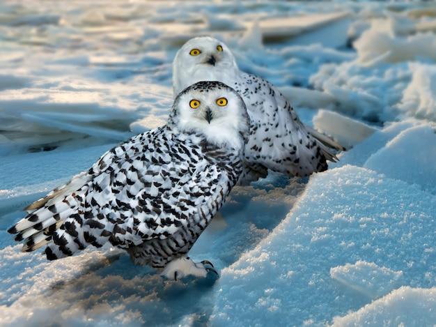 Coruja nevado na área de gelo Foto gratuita