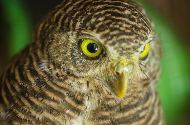 Coruja olhando com olhos dourados Foto Premium