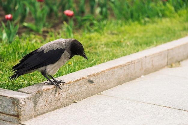 Corvo negro caminha na fronteira perto da calçada cinza Foto Premium