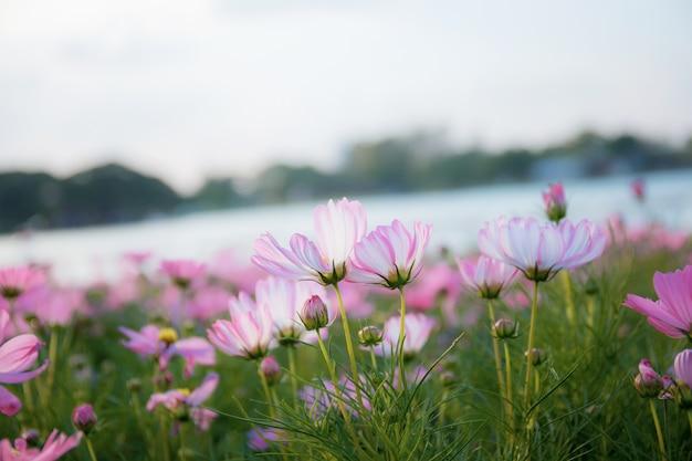 Cosmos-de-rosa no inverno. Foto Premium