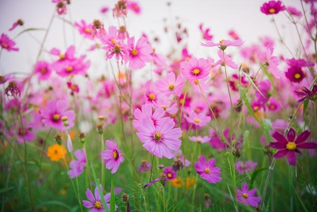 Cosmos, flor, de, grassland Foto Premium