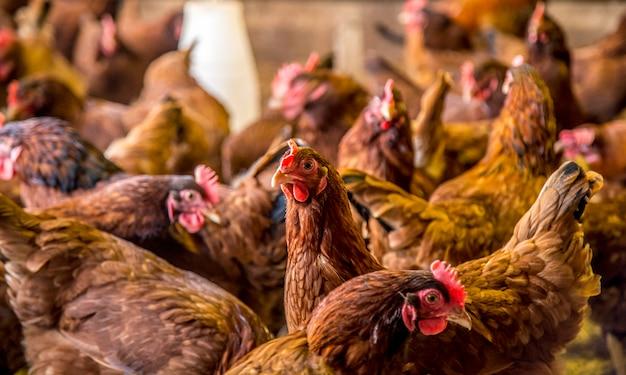 Criação de frango animal de fazenda Foto Premium