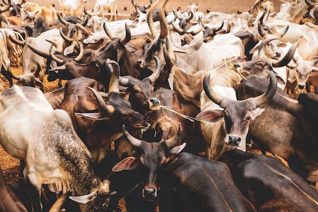 Criação de gado leiteiro indiano, gado indiano Foto Premium