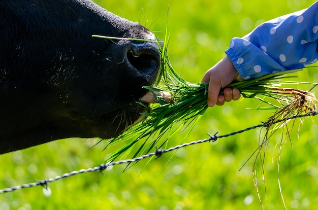 Criança alimentando uma vaca preta Foto gratuita