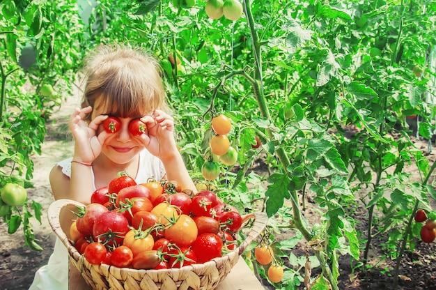 Criança recolhe uma colheita de tomates caseiros. foco seletivo. Foto Premium