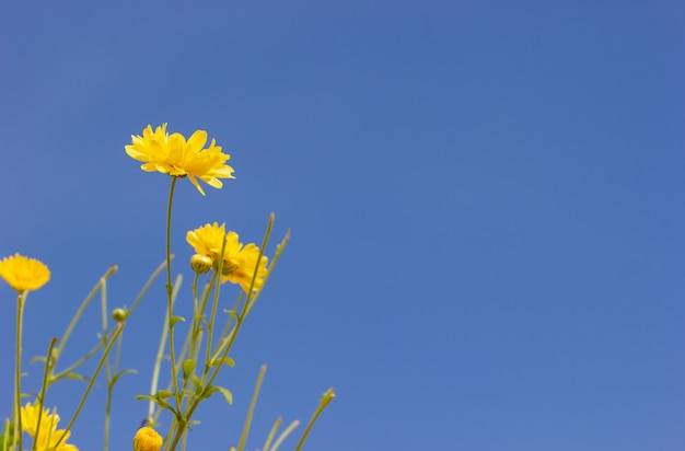 Crisântemo amarelo do close up no fundo e na luz solar do céu azul. Foto Premium