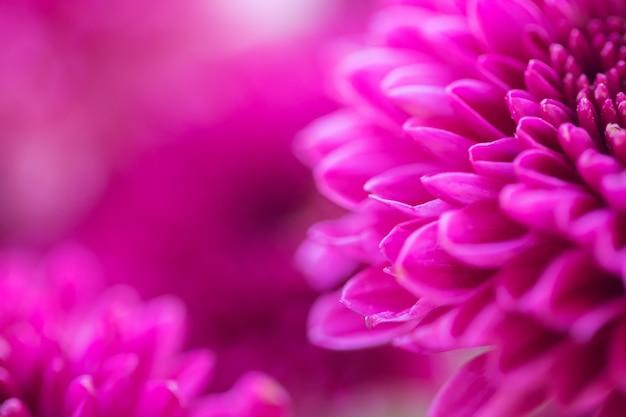 Crisântemo de flores coloridas para plano de fundo Foto Premium