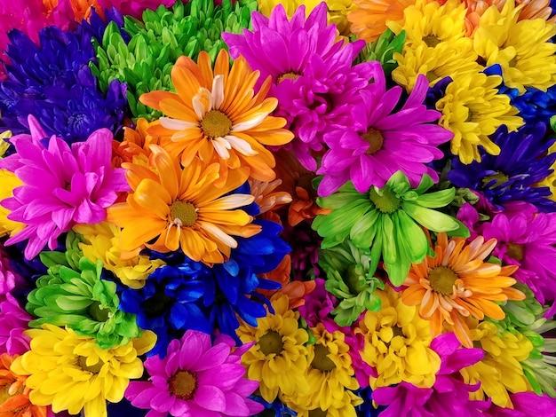 Crisântemos coloridos Foto gratuita