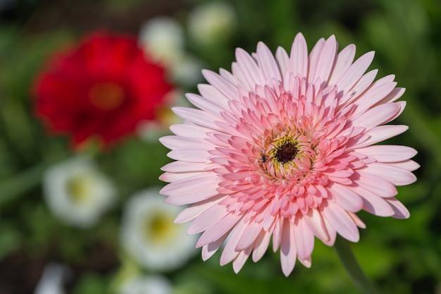 Crisântemos de flores no jardim em dia ensolarado de primavera Foto Premium