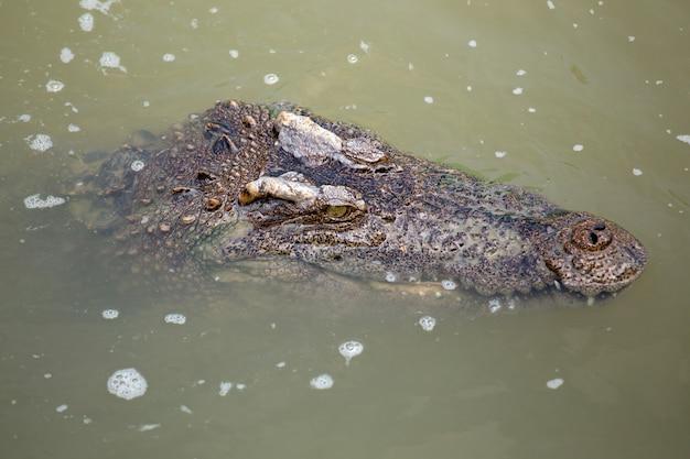 Crocodilo asiático no rio Foto Premium