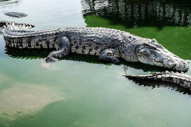 Crocodilo gigante na água verde muito assustador e perigoso   Baixar ... b8963fac5c