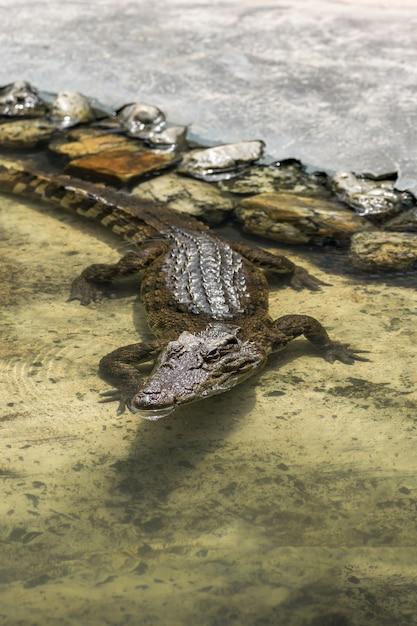 Crocodilo marrom jovem na água Foto Premium