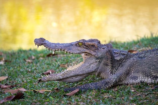Crocodilo na grama. réptil. Foto Premium