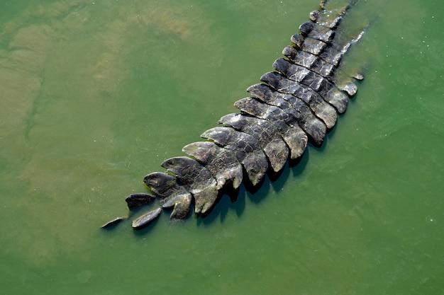 Crocodilo Foto Premium
