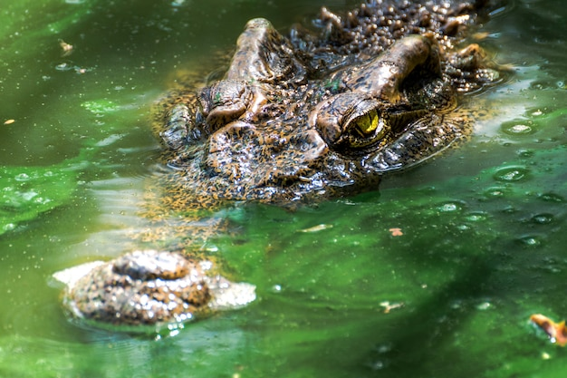 Crocodilos no pântano verde no close up Foto Premium