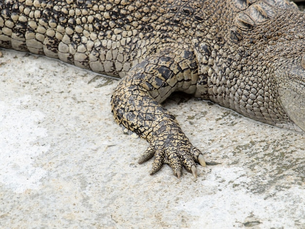 Crocodilos pé fechar na tailândia Foto Premium