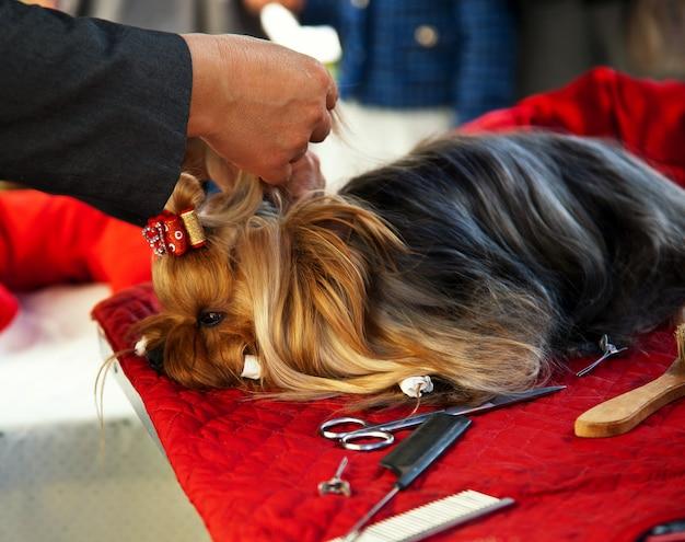 Cuidar de yorkshire terrier Foto Premium