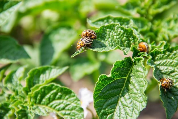 Cultivo de besouros colorados de batata. foco seletivo. Foto Premium