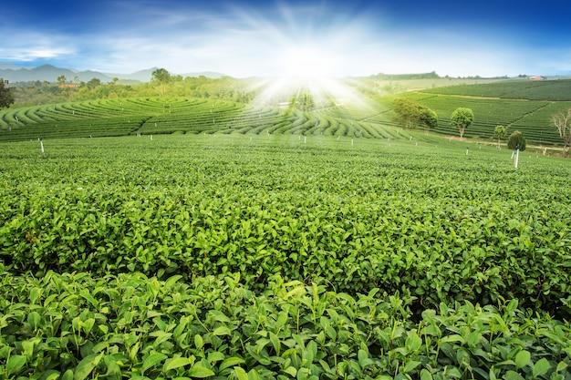 Cultivo de colina de pôr-do-sol de paisagem de jardim de chá verde Foto Premium