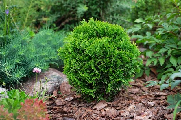 Cultivo de thuja occidentalis danica aurea em canteiro de flores de jardim com cobertura de casca de pinheiro para paisagem decorativa Foto Premium