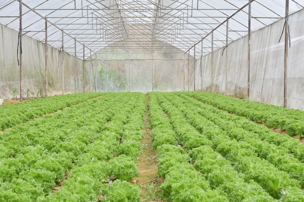 Cultivo orgânico de hortaliças em estufas Foto Premium