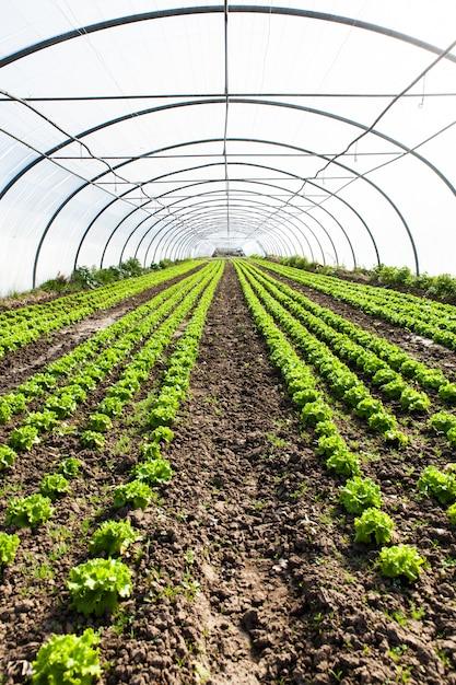 Cultura de salada orgânica em estufas Foto Premium