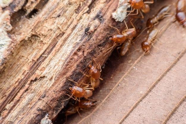Cupins, comer, apodreceu madeira Foto Premium