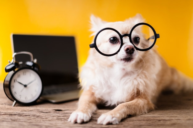 Cute chihuahua brown color dog wear black round glasses with laptop and black alarmclock Foto Premium