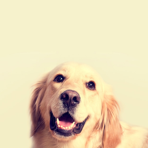 Cute golden retriever dog. Foto gratuita