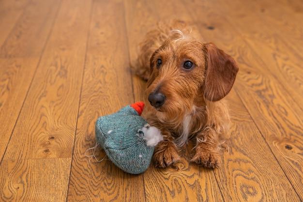 Dachshund de pelo castanho com brinquedo destruído