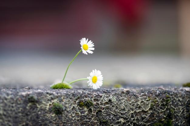 Daisy no chão rachado Foto Premium