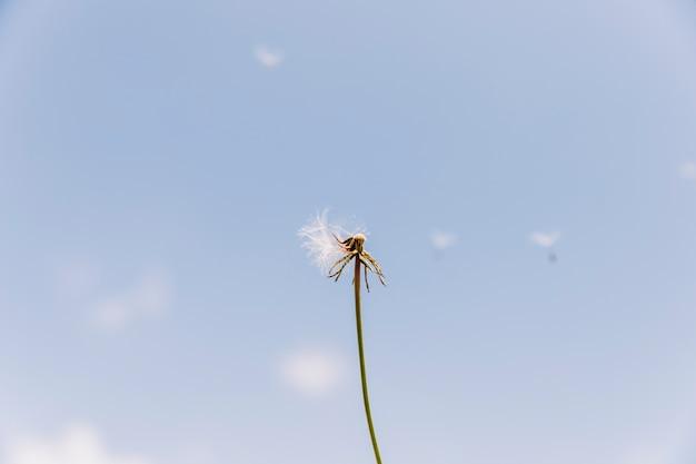 Dandelion exagerado com sementes voando com o vento Foto gratuita