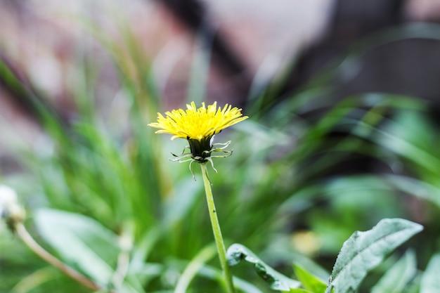 Dandelions (taraxacum officinale) na grama Foto Premium