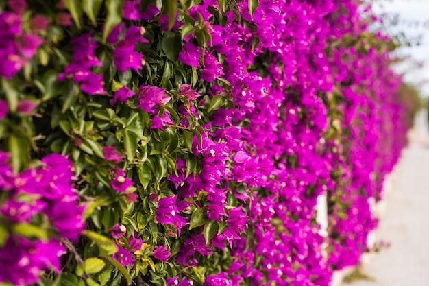 Decoração e conceito de natureza - lindas flores roxas no jardim Foto Premium