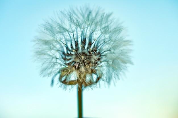 Dente-de-leão de florescência na natureza contra o céu azul. Foto Premium