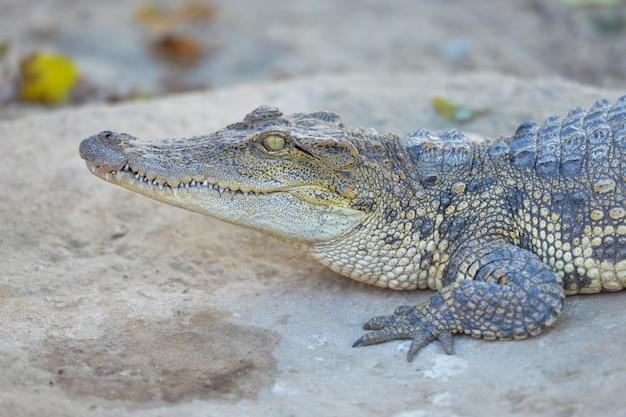 Descanso de crocodilo de água doce siamês Foto Premium