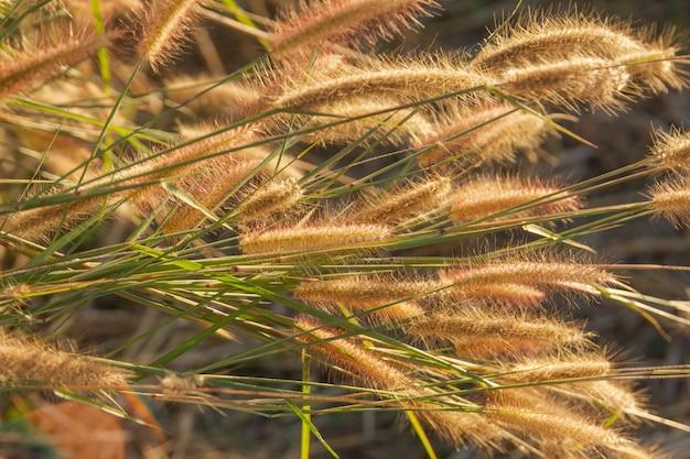 Desho grama, pennisetum pedicellatum e luz solar do pôr do sol Foto Premium