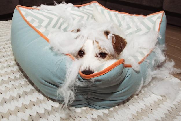 Desobedecer o cão depois de destruir sua cama macia Foto Premium