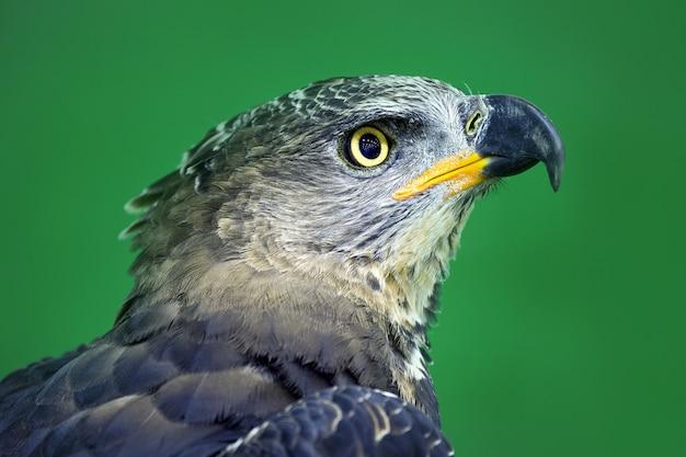 Detalhado na face da águia coroada (stepphanoaetus coronatus). Foto Premium