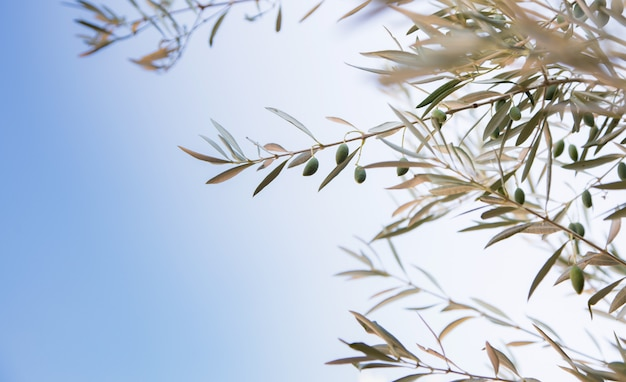 Detalhe, de, ramo oliveira, com, azeitonas, crescendo, e, céu azul, fundo Foto Premium
