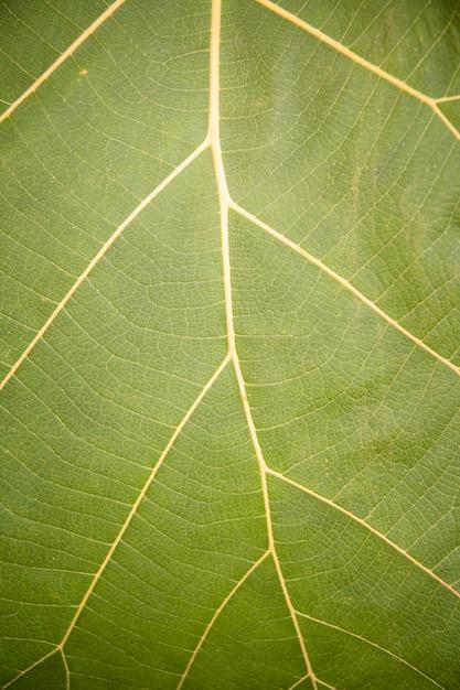 Detalhe e textura da folha de banana verde fresca Foto Premium