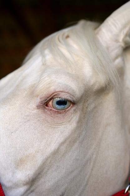 Detalhe macro de olho azul de um cavalo branco Foto Premium