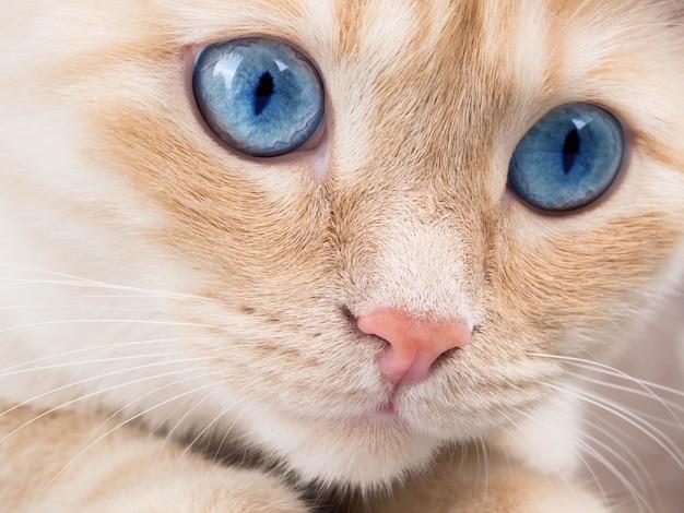 Detalhe, tiro, de, macio, gato, patas, enquanto, sentar tabela, cute, rosto vermelho, gato, closeup Foto Premium