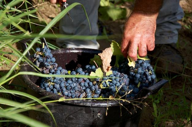 Detalhes da colheita da uva Foto Premium